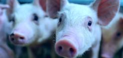 estudio evolución porcino
